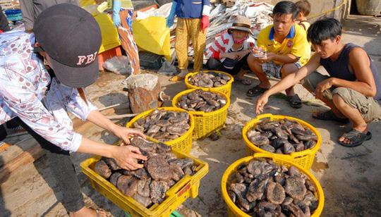 Banh lông, một đặc sản có giá trị dinh dưỡng cao hơn hải sâm, nhưng người dân Phú Quốc không biết ăn, để Trung Quốc thu mua với giá bèo
